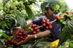 Bali Tour - Special Coffee Plantation -Edy Ubud Tour