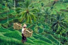 Tegallalang rice terrace-bali tour package-edy ubud tour
