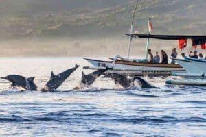 Dolphin watching at Lovina-sunrise tour