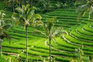 Pupuan rice terrace - most beautiful rice terrace - bali tour package - edy ubud tour